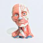 3B SCIENTIFIC - Representação da musculatura superficial, músculos profundos, nervos, glândulas e vasos sanguíneos do pescoço e cabeça. Construído em material sintético, robusto, de alta qualidade, com  revestimento emborrachado. Tamanho natural  com riquíssimos detalhes. Calota craniana removível, interior  com cérebro emborrachado podendo ser dissecado em 3 partes. 151 estruturas numeradas. Total de 5 peças. Exemplar em perfeito estado de conservação. Exemplar utilizado nas maiores Universidades dos EUA e da Europa.  Dimensões: 25 cm x 18 cm x 18 cm / Peso 2Kg.
