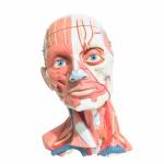 3B SCIENTIFIC - Representação da musculatura, músculos profundos, nervos, glândulas e vasos sanguíneos do pescoço e cabeça. Construído em material sintético, robusto, de alta qualidade, com revestimento emborrachado. Tamanho natural com riquíssimos detalhes. Calota craniana removível, interior com cérebro emborrachado podendo ser dissecado em 3 partes. 151 estruturas numeradas. Utilizado nas maiores Universidades dos EUA e da Europa.Total de 5 peças.Exemplar em perfeito estado de conservação. Dimensões: 25 cm x 18 cm x 18 cm / Peso 2 Kg.Cotação no site do fabricante 3B Scientific: R$ 5000,00
