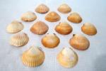 Quatorze (14) conchas naturais, para servir frutos do mar. Med.7,5 a 9  cm de diâmetro. Obs: Conjunto com o lote 183.